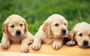cães labrador