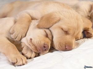 cães labrador a dormir