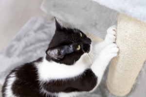 I scratch black and white cat sharpen claws at scratching post