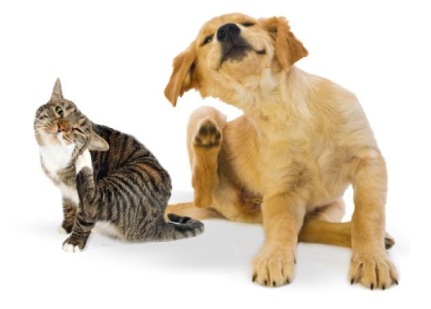 veterinario sao joao da amdeira pulgas 6