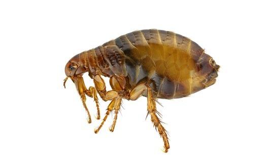 veterinario sao joao da amdeira pulgas 9