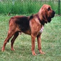 Bloodhound C+úo de S Huberto