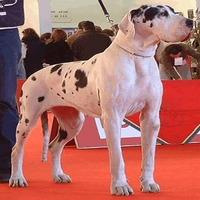 Dogue-Alem+úo-Arlequim-01