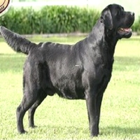 Retriever-do-Labrador-preto-02