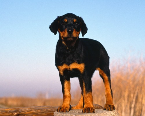 dogs-untitled-rottweiler-puppy-gallery