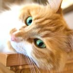 Como dar comprimidos ao seu gato?