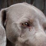 Por que choram os cães?