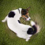 Sabia que os cães também podem sofrer de TOC: Conheça quatro sinais